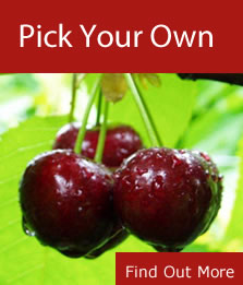 Red Hill Cherry Farm – Pick your own cherries